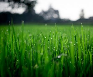 Daggvått grönt gräs